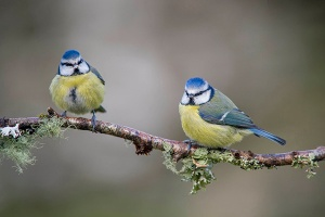 Two Blue tits, Cyanistes caeruleus, on branch