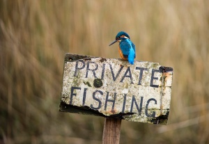 Kingfisher - Alcedo atthis. A male kingfisher on a Private Fishing sign post.