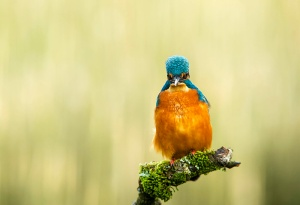 Kingfisher - Alcedo atthis. on branch